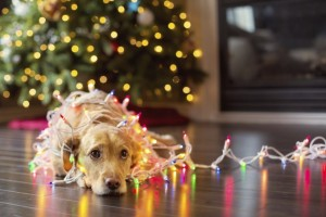 iStock_000031226378_Large_Holiday_Pet_Safety (679 x 452)